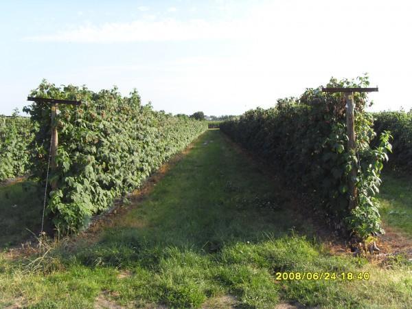 Промышленное выращивание малины в россии 37